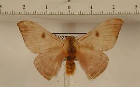 Hylesia pallidex mâle