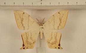 Therinia lactucina mâle