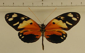Heliconius numata silvana mâle