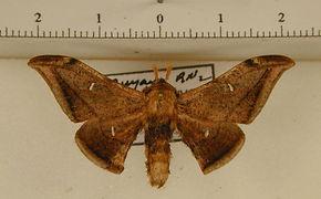 Cicinnus malca mâle