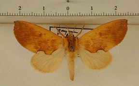 Hemiceras flavescens mâle
