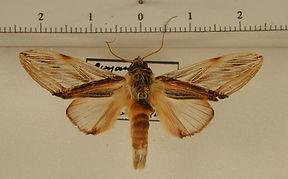 Trichomaplata vittata mâle