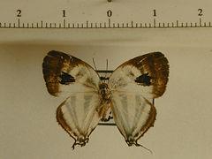 Arawacus aetolus mâle