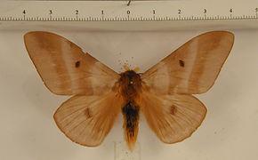Dirphia panamensis panamensis mâle