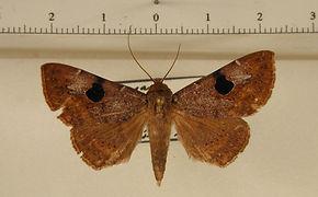 Obroatis distincta mâle