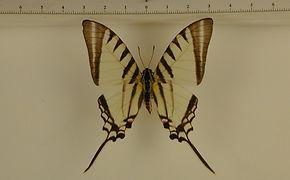 Protograpium agesilaus autosilaus mâle
