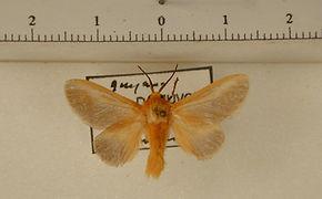 Endobrachys placida mâle