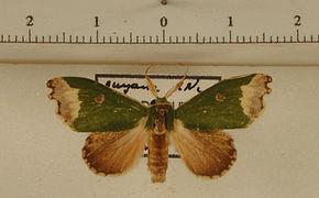 Rosema epigena mâle