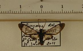 Heterodontia haematica mâle