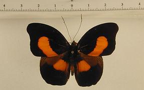 Catonephele acontius acontius mâle