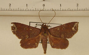 Agyra squamivaria mâle