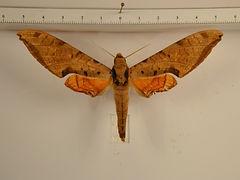 Protambulyx strigilis mâle