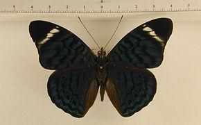 Panacea bleuzeni mâle