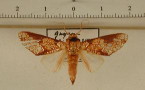 Boriza argentipunctata mâle