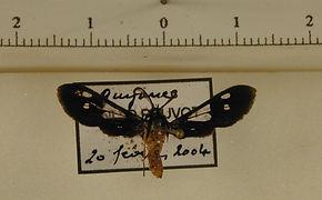 Mystrocneme varipes mâle
