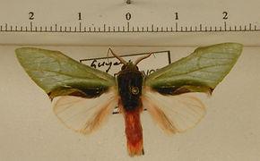 Rosema thalassina mâle