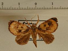 Drobeta sp. mâle