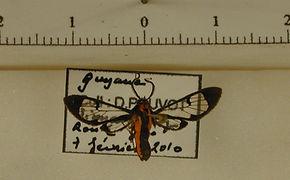 Loxophlebia diaphana mâle