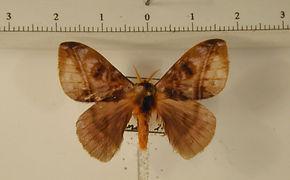 Hylesia vassali mâle