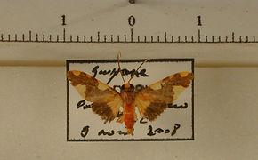 Trichromia metachryseis mâle