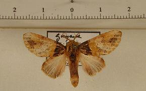 Disphragis bactrea mâle