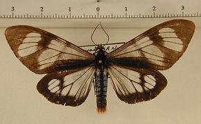Dysschema larvata mâle