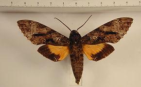 Isognathus swainsoni mâle