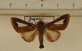 Notoplusia clara mâle