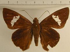 Bungalotis midas femelle