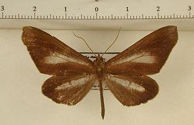 Macrosoma lucivittata mâle