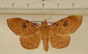 Argidia wedelina mâle