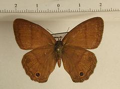 Hermeuptychia sp. mâle