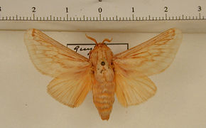 Perola villosipes mâle