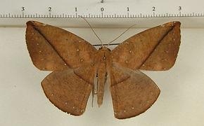 Oxydia hispata mâle