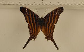 Marpesia chiron mâle