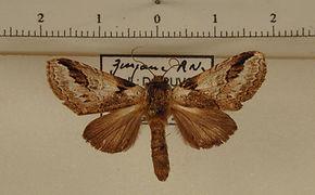 Sericochroa guianensis mâle