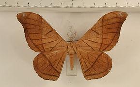Grammopelta lineata mâle