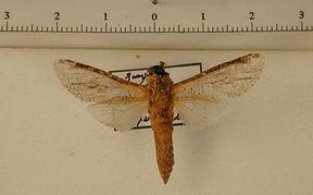 Aramos ramosus mâle