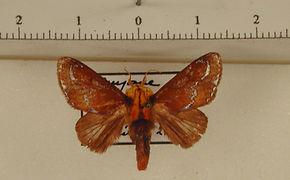 Miresa clarissa mâle