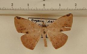 Herbita versilinea mâle