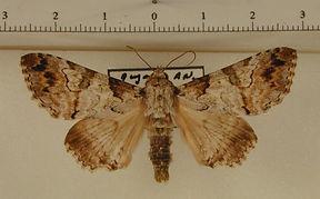 Orodesma fearni mâle