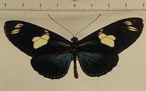 Laparus doris doris mâle