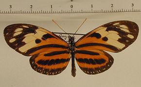 Eueides isabella isabella mâle