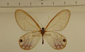 Cithaerias andromeda andromeda mâle