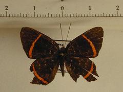Riodina lysippus lysippus mâle