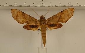 Xylophanes pistacina mâle