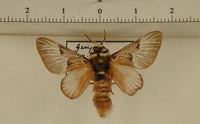 Megalopyge tharops mâle