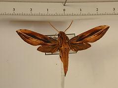 Xylophanes thyelia thyelia mâle