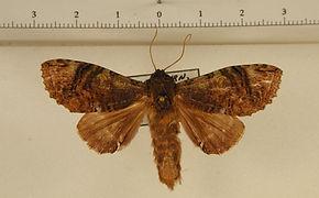 Rifargia biplaga mâle