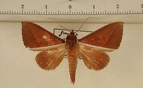 Strophocerus rectilinea mâle